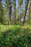 Bosque del abedul en el tiempo de primavera Imagen de archivo libre de regalías