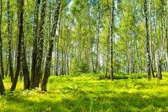 Bosque del abedul en el verano Foto de archivo