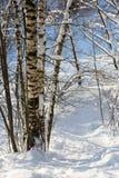 Bosque del abedul en invierno Imagenes de archivo