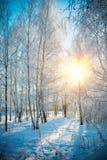 Bosque del abedul en invierno Imagen de archivo libre de regalías