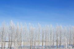 Bosque del abedul en invierno Fotografía de archivo libre de regalías