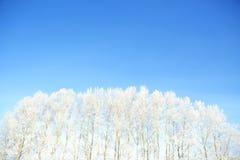Bosque del abedul en invierno Fotos de archivo