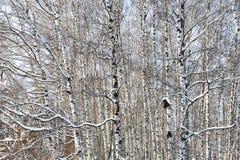 Bosque del abedul en invierno Fotografía de archivo