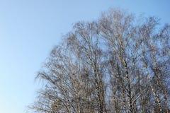 Bosque del abedul en invierno Imágenes de archivo libres de regalías
