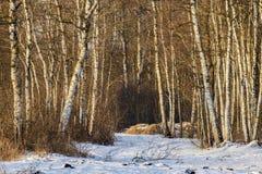 Bosque del abedul en invierno Imagen de archivo
