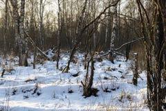 Bosque del abedul en invierno Foto de archivo libre de regalías
