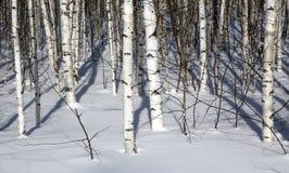 Bosque del abedul en invierno en blanco y negro Fotografía de archivo libre de regalías