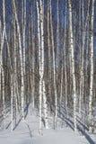 Bosque del abedul en invierno en blanco y negro Foto de archivo
