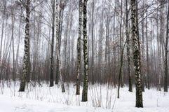 Bosque del abedul en invierno de la nieve Imagen de archivo libre de regalías