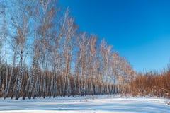 Bosque del abedul en invierno El árbol en la nieve contra el backdro Imagen de archivo