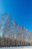 Bosque del abedul en invierno El árbol en la nieve contra el backdro Fotos de archivo