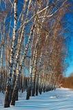 Bosque del abedul en invierno El árbol en la nieve contra el backdro Foto de archivo