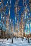 Bosque del abedul en invierno El árbol en la nieve contra el backdro Imágenes de archivo libres de regalías