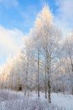 Bosque del abedul en invierno frío Foto de archivo