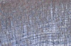 Bosque del abedul en la cuesta de la nieve Fondo Imagen de archivo libre de regalías