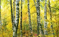 Bosque del abedul en la estación del otoño Fotografía de archivo