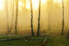 Bosque del abedul en la madrugada Fotografía de archivo libre de regalías