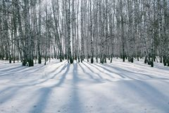 Bosque del abedul en la nieve Imágenes de archivo libres de regalías