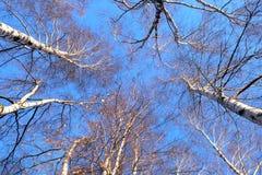 Bosque del abedul en la opinión sanny del otoño de abajo hacia arriba Fotos de archivo
