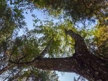 Bosque del abedul en la opinión del verano de debajo en el cielo Fotografía de archivo libre de regalías