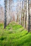 Bosque del abedul en la primavera Imagen de archivo libre de regalías