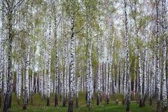 Bosque del abedul en la primavera Imagenes de archivo