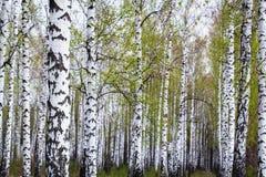 Bosque del abedul en la primavera Foto de archivo