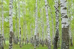 Bosque del abedul en la primavera Imagen de archivo