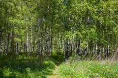Bosque del abedul en la primavera Fotos de archivo libres de regalías