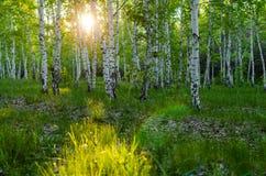 Bosque del abedul en la puesta del sol Imagen de archivo libre de regalías