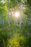 Bosque del abedul en la puesta del sol Fotos de archivo libres de regalías