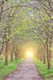 Bosque del abedul en luz del sol Imágenes de archivo libres de regalías