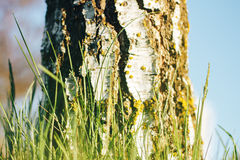 Bosque del abedul en luz del sol foto de archivo