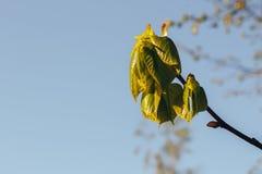 Bosque del abedul en luz del sol fotos de archivo libres de regalías