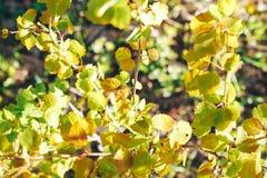 Bosque del abedul en luz del sol fotografía de archivo