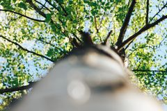 Bosque del abedul en luz del sol imagen de archivo