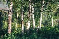 Bosque del abedul en luz del sol en la puesta del sol de la tarde Foto de archivo