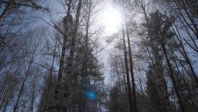 Bosque del abedul en luz del sol por la mañana Arboleda del abedul en otoño Fotos de archivo