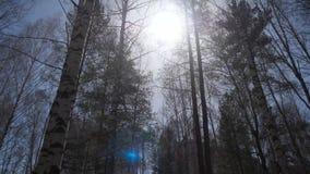 Bosque del abedul en luz del sol por la mañana Arboleda del abedul en otoño Foto de archivo