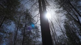 Bosque del abedul en luz del sol por la mañana Arboleda del abedul en otoño Foto de archivo libre de regalías