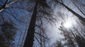 Bosque del abedul en luz del sol por la mañana Arboleda del abedul en otoño Fotografía de archivo