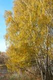 Bosque del abedul en otoño Fotografía de archivo