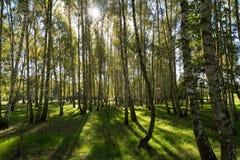 Bosque del abedul en otoño Foto de archivo