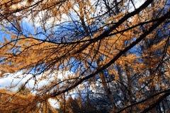 Bosque del abedul en otoño Fotos de archivo libres de regalías