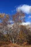 Bosque del abedul en otoño Imagen de archivo