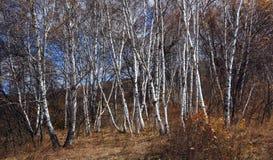 Bosque del abedul en otoño Imágenes de archivo libres de regalías