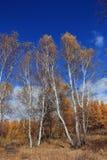 Bosque del abedul en otoño Foto de archivo libre de regalías
