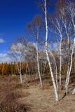 Bosque del abedul en otoño Fotos de archivo