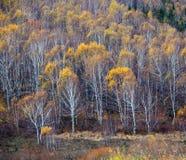 Bosque del abedul en otoño Fotografía de archivo libre de regalías