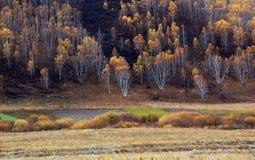 Bosque del abedul en otoño Imagen de archivo libre de regalías